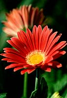 Gerbera jamesonii _ salmon _ radiant _ sophisticated _ charming white florets