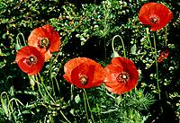 Papaver rhoeas _ bright red _ a delicate enchantment