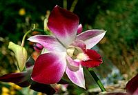 Orchid _ white adorned of purplish_red and purplish pink _ delicate erotic attraction