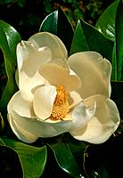 Magnolia grandiflora _ creamy_white _ short_lived nestled in a casket of large glossy leaves its gorgeous fragrance gives it away