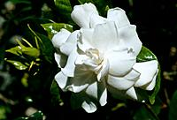 Gardenia _ small enchanting white flower _ its fragrance a transport to paradise
