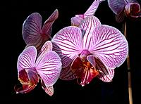 Orchid _ purple pink _ cluster of seductive flowers _ refined design _ aesthetic expression of erotism