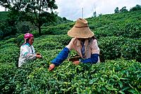 China _ Yunnan _ Xishuangbanna _ Menghai _ Tea plantation _ Gatherers
