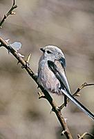 Long-tailed Tit (Aegithalos caudatus).