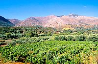 Greece _ Crete _ Vines _ Kouloukonus Region