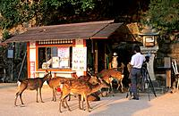 Japan _ The west of Honshu _ Hiroshima _ Miyajima Island _ Itsukushima Sanctuary _ Deer