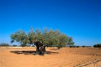 Tunisia _ The South _ Jerba _ El May _ Ancient olive trees