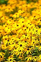 rudbeckia yellow flowers in bloom summer england uk europe