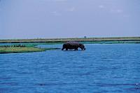 Hippopotamus,Chobe National Park,Botswana,Africa