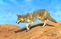 Coyote,Canis latrans,Bryce Canyon,Utah,USA,adult on rock