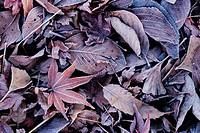 Frost On Fallen Leaves,Korea