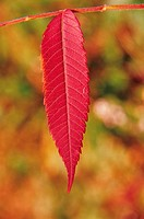 Close_up Of Autumnal Leaf