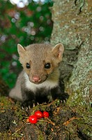 young beech marten with cherries / Martes foina