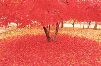 Maple Trees In Autumn,Korea
