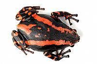 Phrynomantis bifasciatus, Phrynomerus bifasciatus, South African snake-neck frog, South African snake neck frog