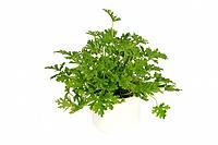 Palergonium crispum, Pelargonium citrosum ´Mosquito fighter´, Pelargonium crispum Mosquito Shocker, Pelargonium x citrosmum, citrosa geranium, mosquit...