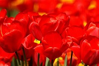 Tulips, Tulipa, close_up, bloom