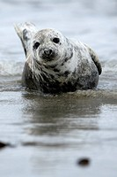 Cone_seal, Halichoerus grypus, beach, close_up