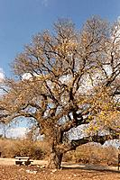Israel the Lower Galilee Mount Tabor Oak tree qyercus ithaburensis in Beth Keshet