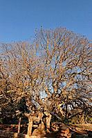Israel the Upper Galilee Atlantic Pistachio Pistacia Atlantica tree in Kadesh valley