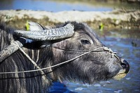 Asia, China, water_buffalos, Bubalus, useful_animal, rice_terraces