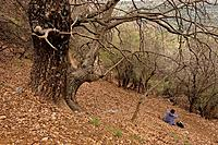 The Golan Heights Turkish Oak Quercus cerris on Mount Hermon