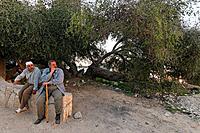 Samaria Jujube tree in Kifl Haret