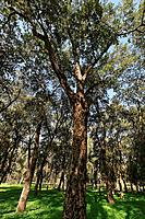 Israel Sharon region Cork Oak Querqus suber in Ilanot