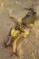 Welwitschie, Welwitschia mirabilis, female, Africa, southwest_Africa, Namibia, Namib, Swakopmund, nature, plant, game_plant, seed_plant, Spermatophyta...