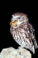 Little Owl (Athene noctua) with scorpion