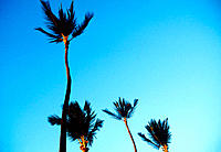 Palm trees on a windy days in Hawaii, USA