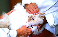 Cat being examined by veterinary doctor as owner holds her