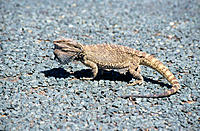 Lizard on road, Australia