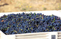 Hand picked grapes in vineyard