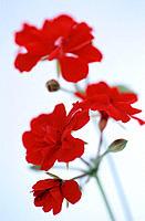 Geranium (Pelargonium peltatum)