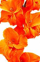 Gladiolus hybr.