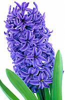 Hyacinth, Hyacinthus