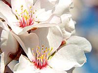 Almond tree flowers