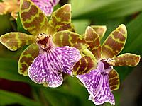 Orchid (Zygopetalum sp.)