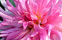 Close-up of lavender pink Dahlia flower
