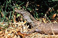Monitor lizard. Gambia