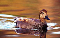 Gadwall (Anas strepera), male. California. USA