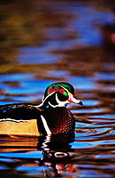 Wood Duck (Aix sponsa), male with breeding plumage. California. USA