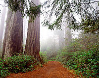 Lady Bird Johnson grove. Redwood National Park. CA. USA