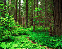 Redwood National Park. CA. USA