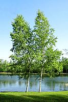 Summer: two birch trees next to pond