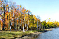 Birch trees along a lake