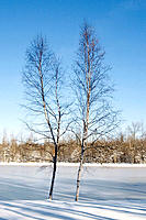Winter: two birch trees next to pond