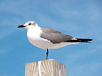 Florida gull perches on pier