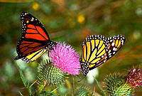 Monarch butterflies on a thistle plant